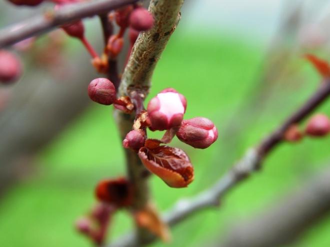 Thundercloud Plum Tree Blossoms