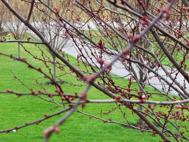 Thundercloud Plum Tree Close to Blooming