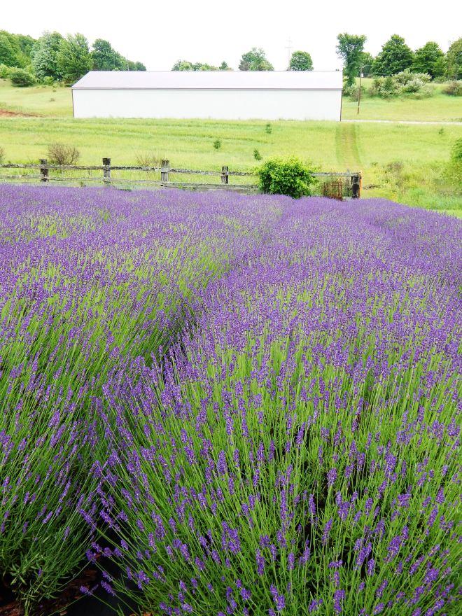lavendar-fields